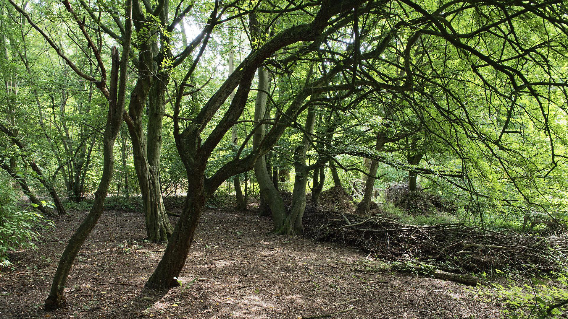 houtwal, bomen,
