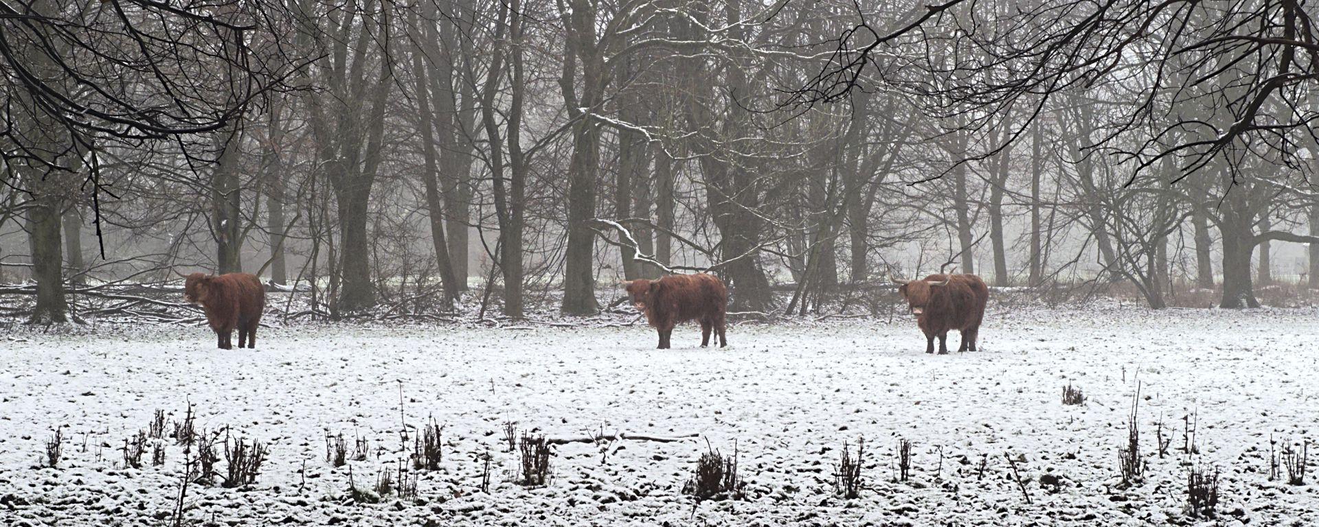 stadsparkkoeien in de sneeuw